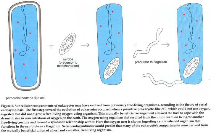 beneficial prokaryote Most prokaryotes are bacteria, and the two terms are often treated as synonymsit is generally accepted that the first living cells were some form of prokaryote.